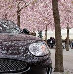Jaguar i blom - 2