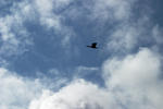 Flygande skarv