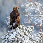 Kungsörn i vintersol