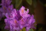 Rhododendron är mums
