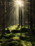 Light if the forest