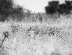 smygande gepard