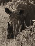 Trubbnosig noshörning -