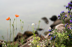 Pirblommor