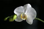 Orkiden