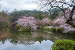 Sakurablomning Ryonji Temple, Kyoto