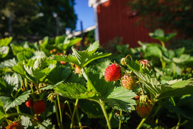 Strawberries in my backyard