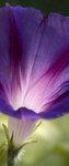 Purpurvinda (Ipomoea purpurea)