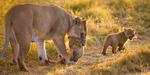 Lejonhona med ungar Masai Mara