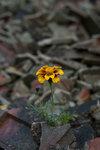 Blomma bland tegelsplitter