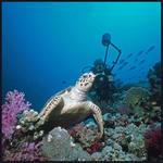 Dykare och sköldpadda