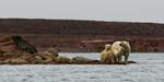 Isbjörnar på udde