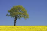 Träd på rapsfält