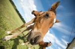 Hästvalp