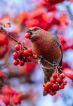 Tallbit/Pine grosbeak
