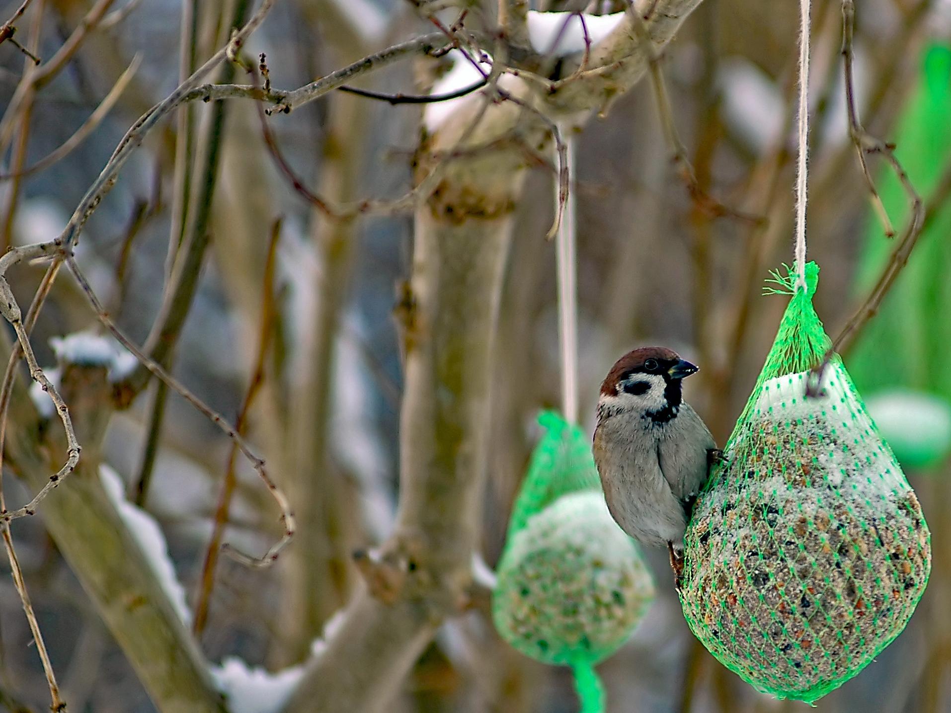Pilfink vid matstället i vår trädgård 26 jan. 2006 036