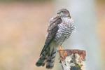 Sparvhök, ungfågel