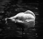 B/W flamingo