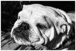 Beasty bulldogg aka Rut