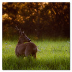 Bock i morgonljus