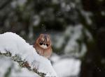 Nötskrika i snöfall II
