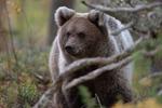Brown bear pekaboo