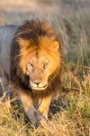 Lejonhanne, Masai Mara