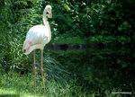 Poserande Flamingo