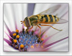 Blomflugan