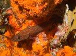 prickig fisk och orange bakrund