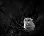 Kattugleunge i den stora mörka skogen