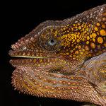 #2780773 Flapnecked Chameleon. Vild Madagaskar