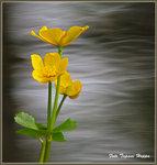 KABB(E)LEKAN är en gul vattenväxt.
