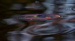 Näckrosblad i augusti kvällsljus. Fotat under en roddtur på tjärnen.