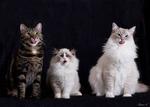 Trio med tunga..
