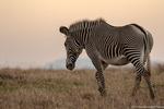 Grevy's Zebra i El Karama