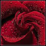 Ett inomhus regn på rosen