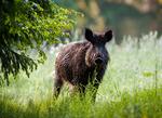 Blöt gris