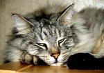 Min katthane Atlas