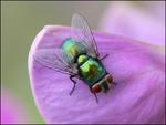 Grön fluga