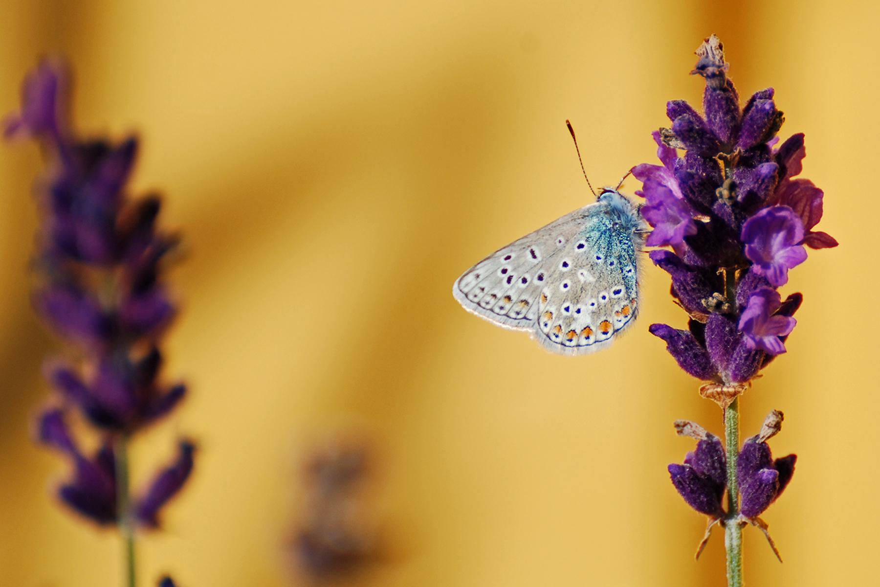 Silverblåvinge på en Lavendelblomma 2008