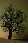 Nattträd