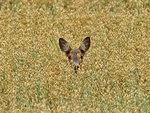 Vad gömmer sig i sädesfältet