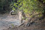 Möte med leopard