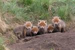 unga rävar