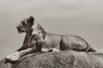 Lejonhona poserar -