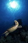 Turtle in Marsa Alam
