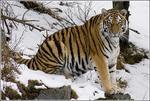 Tiger sittande 0803