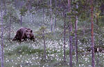 Björn bland blommor