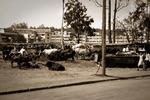 Kampala - boskap mitt i stan - en vanlig syn